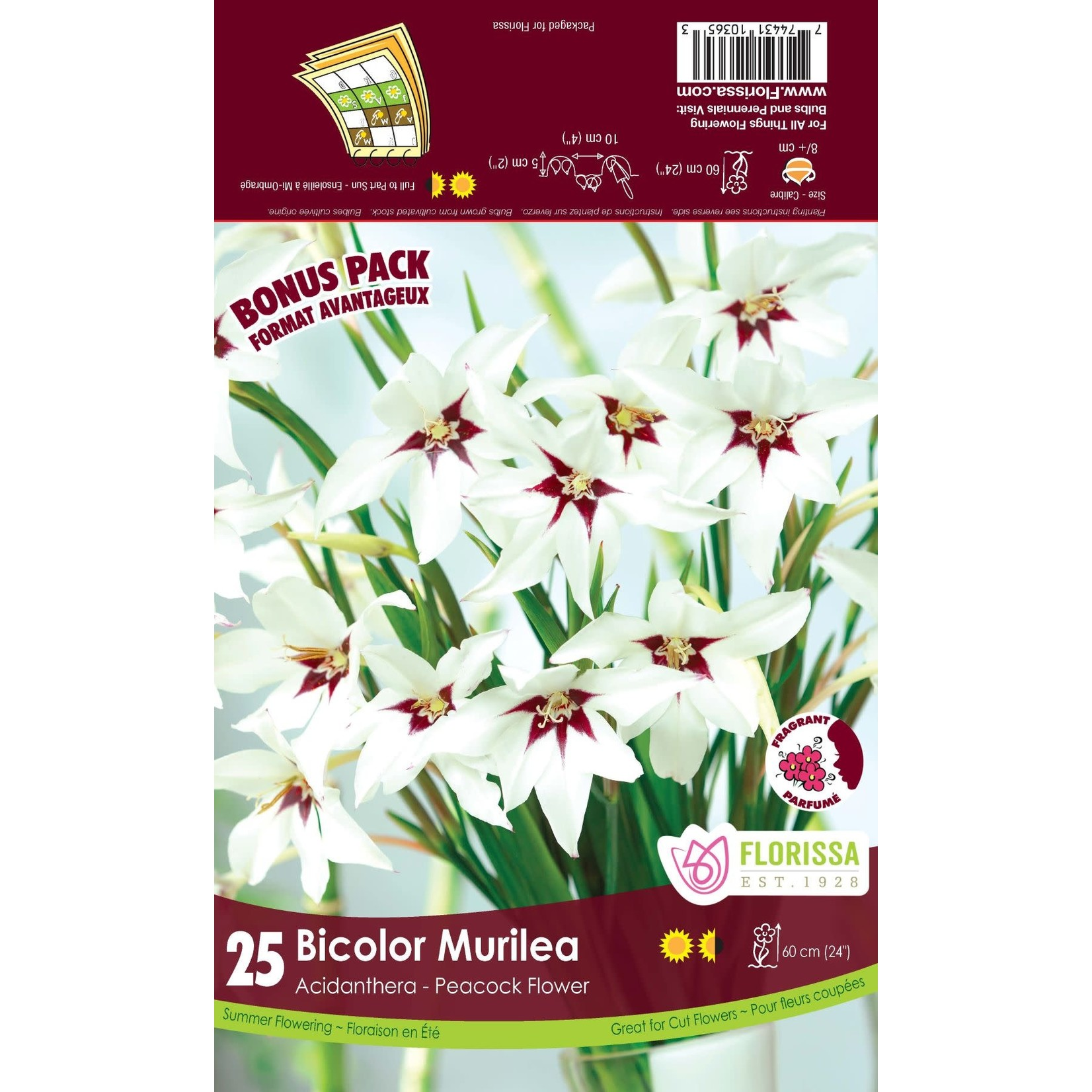 Acidanthera (bulb pkg) (25 bulbs)