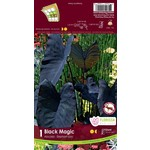 Colocasia (bulb pkg) Black Magic (10 bulbs)