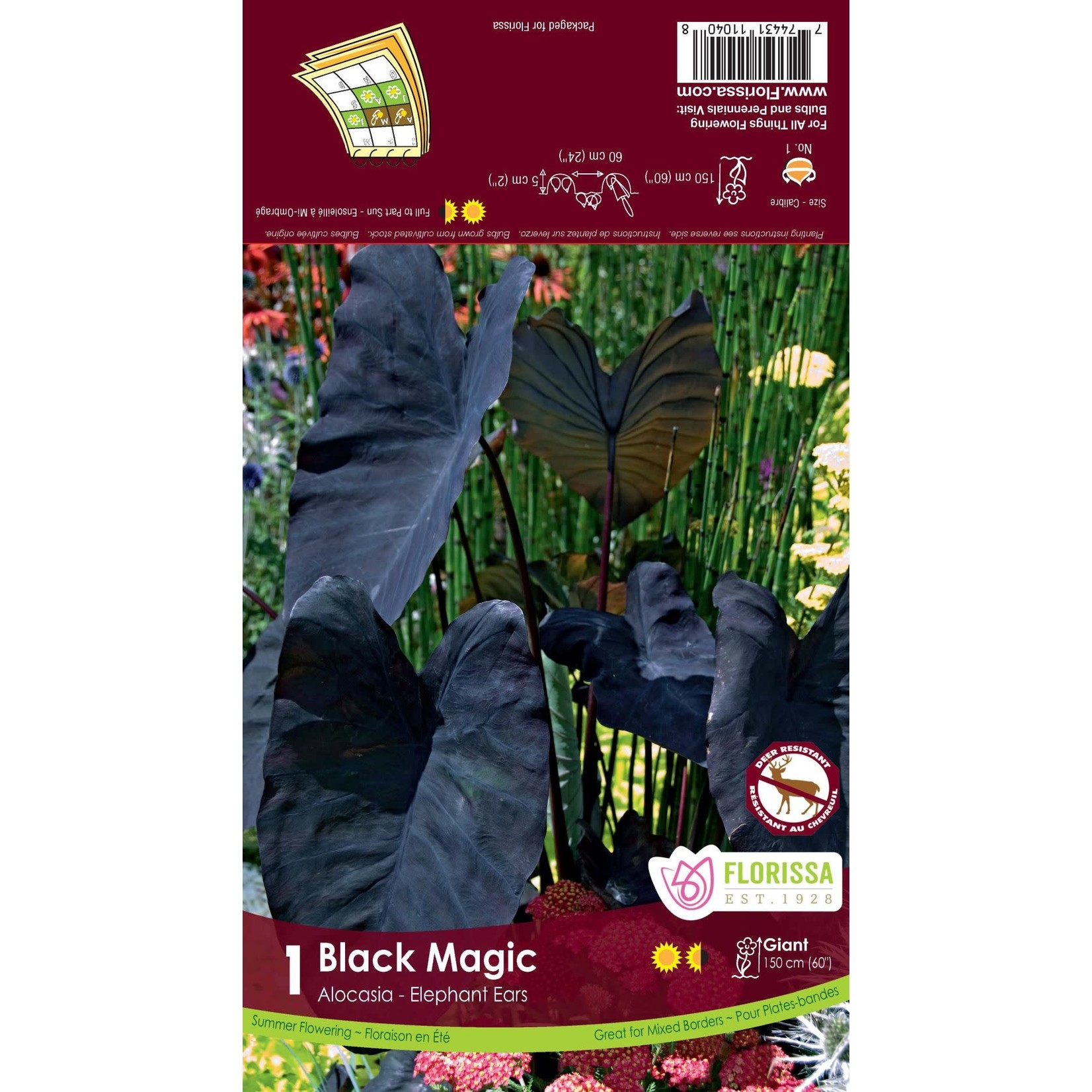Colocasia (bulb pkg) Black Magic (1 bulb)