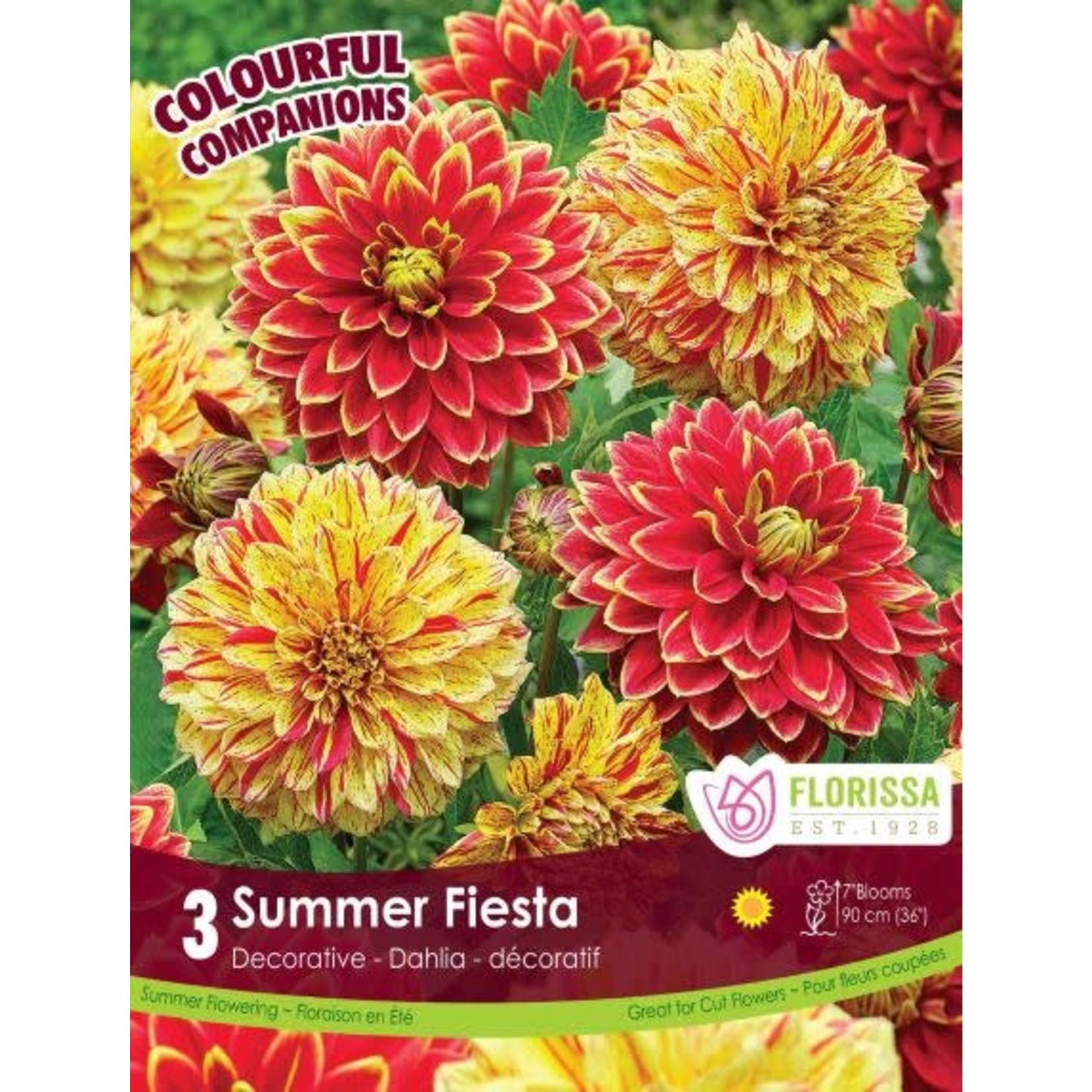 Dahlia (bulb pkg) Summer Fiesta (3 bulbs)