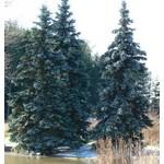 Hoopsi Spruce