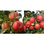 Apple 'honeycrisp'