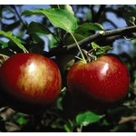 Apple 'Cortland' - 6' Potted