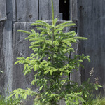 Evergreen Trees - 30% OFF