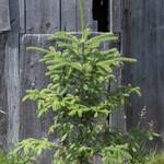 Evergreen Trees - 50% OFF