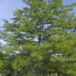 Shade Trees - 30 % OFF