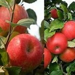 Fruit Trees - 50% OFF