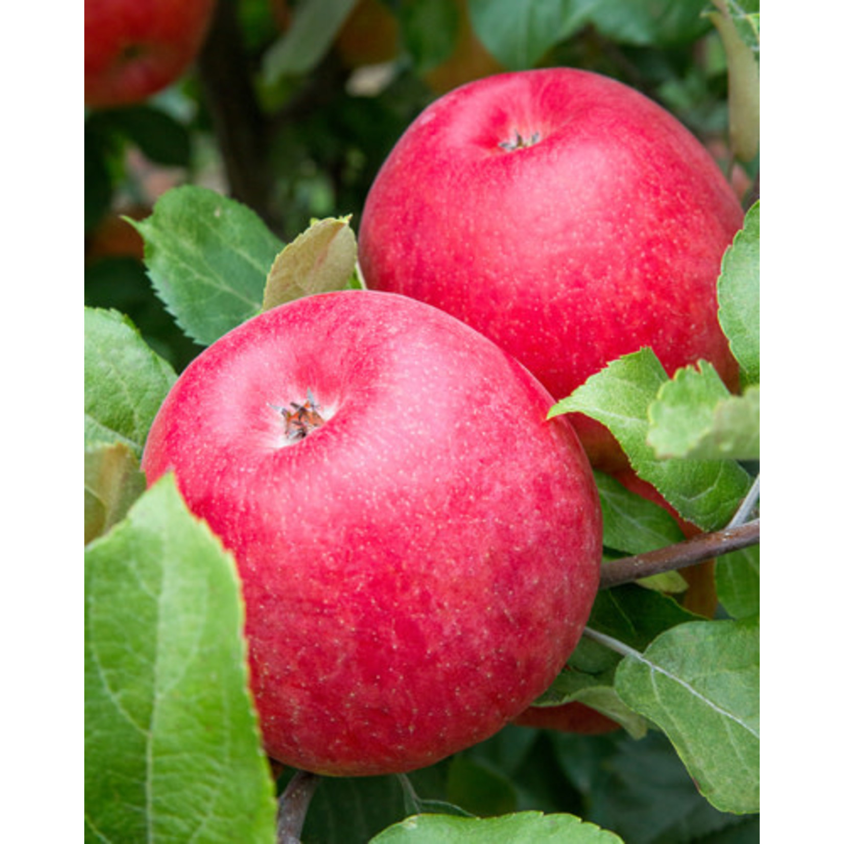 Apple 'Spartan' - 6' Potted