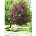 Maple 'Crimson King' - 10-12' Potted
