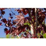 Maple 'Royal Red' - 10-12' Potted