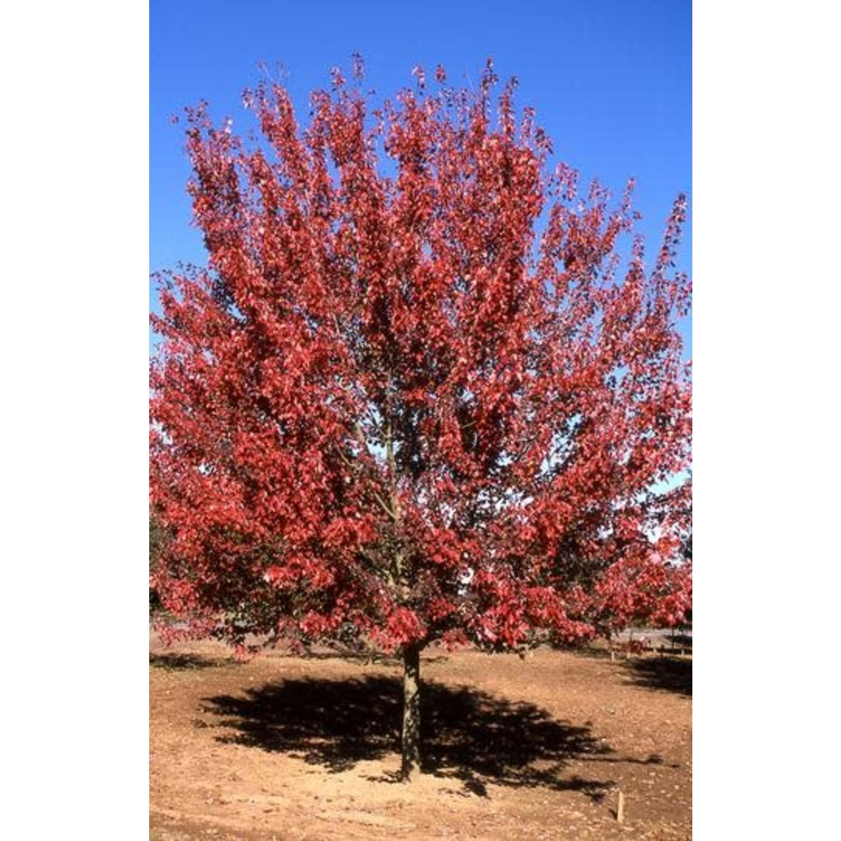 Maple 'Autumn Blaze'