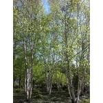 Paper Birch Clump - 12-14' B&B