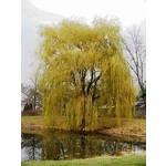 Weeping Willow Golden