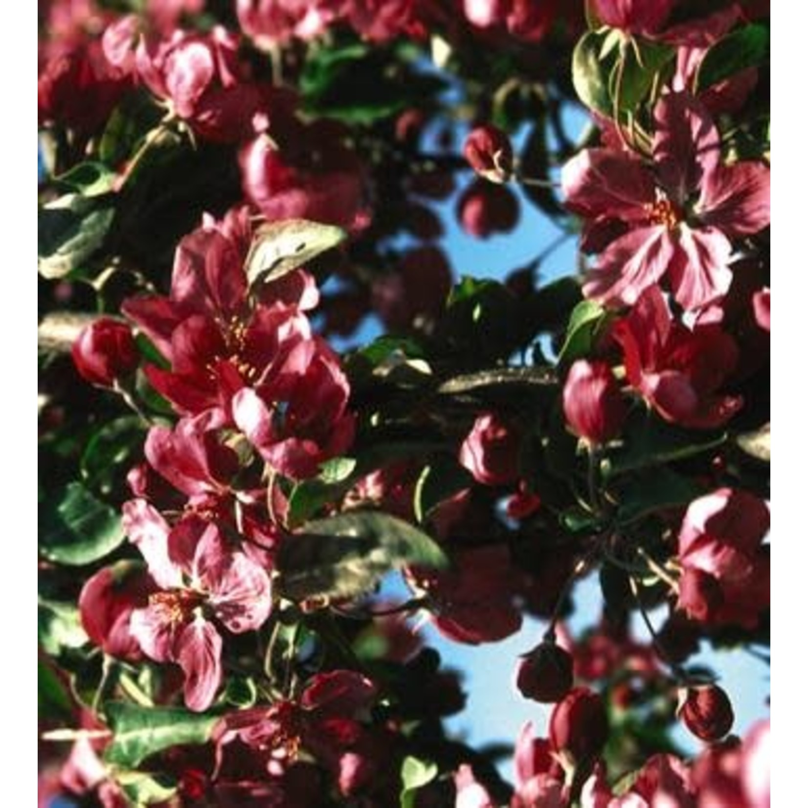 Crabapple 'Red Baron' - 6-8' Potted