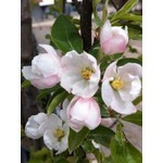 Crabapple 'Rinki' - 6-8' Potted