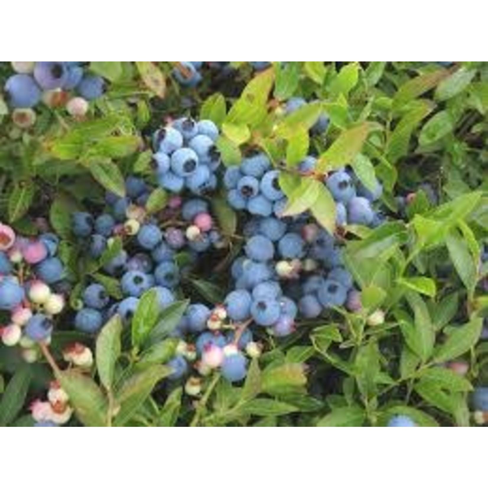 Blueberry 'Vaccinium angustifolium' - 2 gal