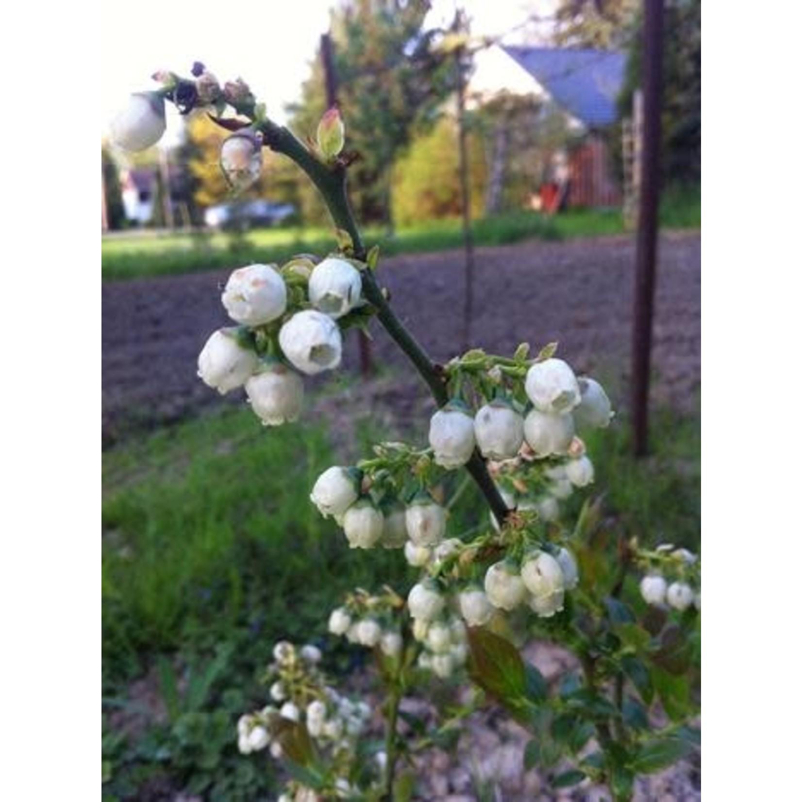 Blueberry - Vaccinium 'Northblue' - 2 gal