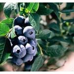 Blueberry - Vaccinium 'Chippewa' - 2 gal