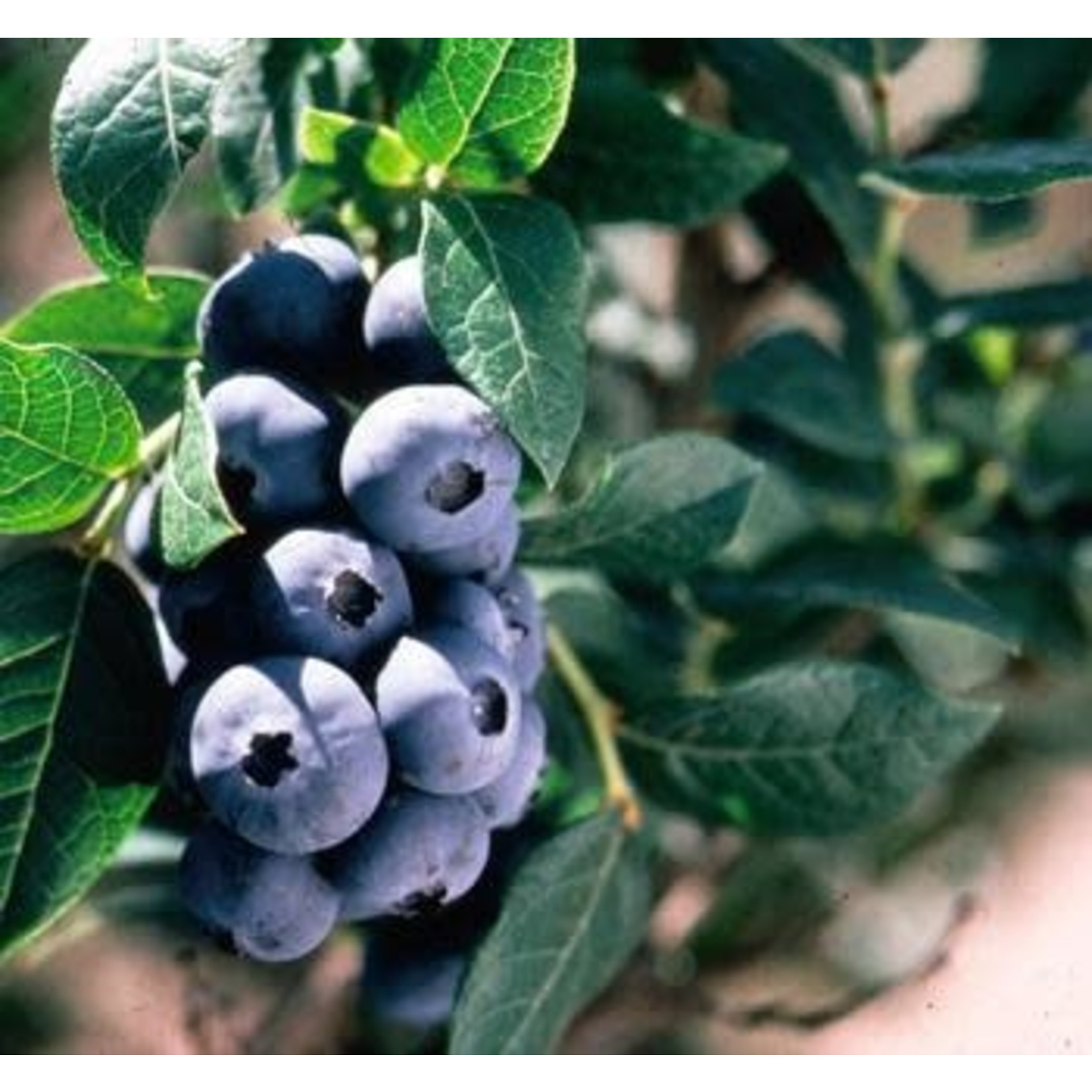 Blueberry - Vaccinium 'Chippewa' - 2 gal