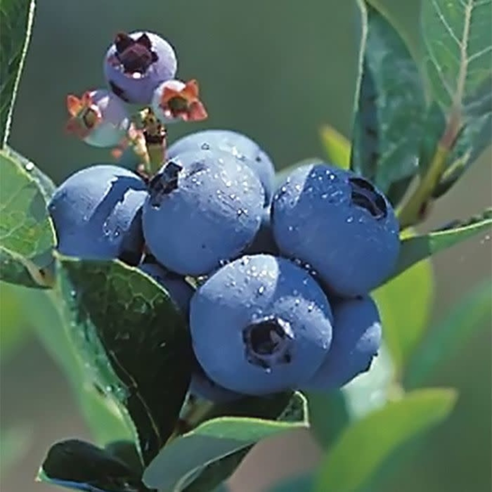 Blueberry - Vaccinium 'Polaris' - 2 gal