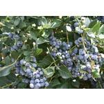 Blueberry - Vaccinium 'Top Hat' - 2 gal