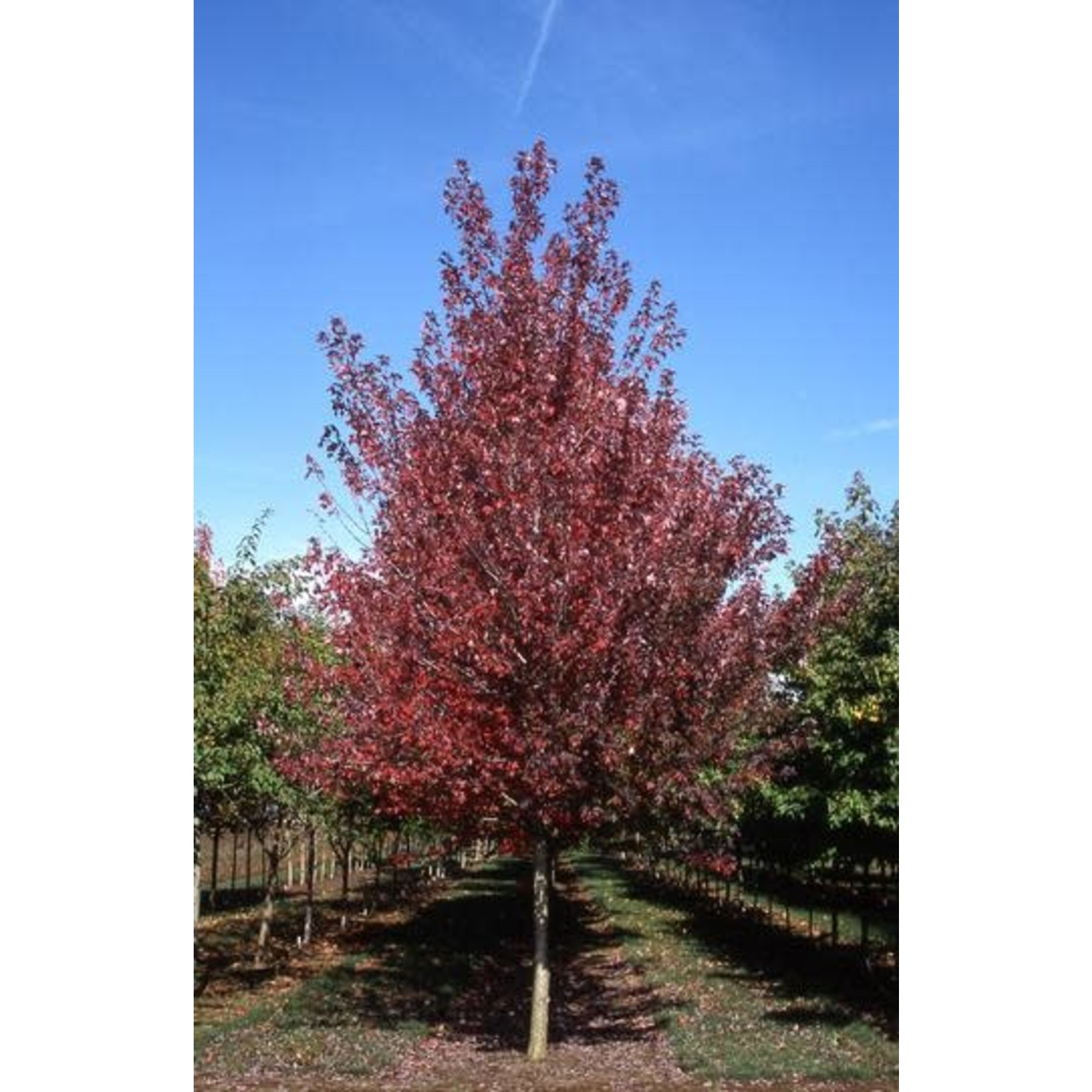 Red Maple 'redpointe' - 6-7' Potted