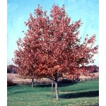Red Maple 'Red Sunset' - 8-10'
