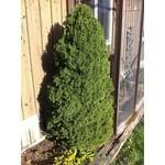 Spruce 'dwarf Alberta' - 5 gal