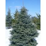 Blue Spruce 'colorado' - 3-.35' Potted