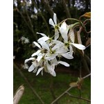 Serviceberry - Amelanchier canadensis - 10 gal