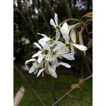 Serviceberry - Amelanchier canadensis - 3 gal