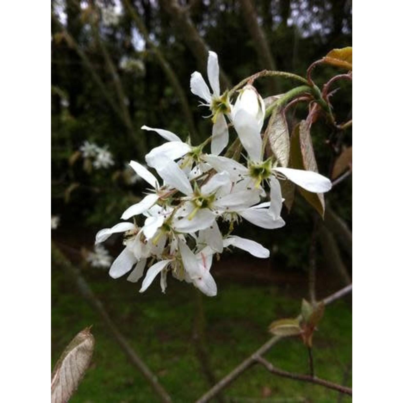 Serviceberry - Amelanchier canadensis - 10 gal