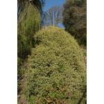 Boxwood 'Green Mound' - 1 gal