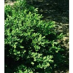 Boxwood 'Green Velvet' 2 gal