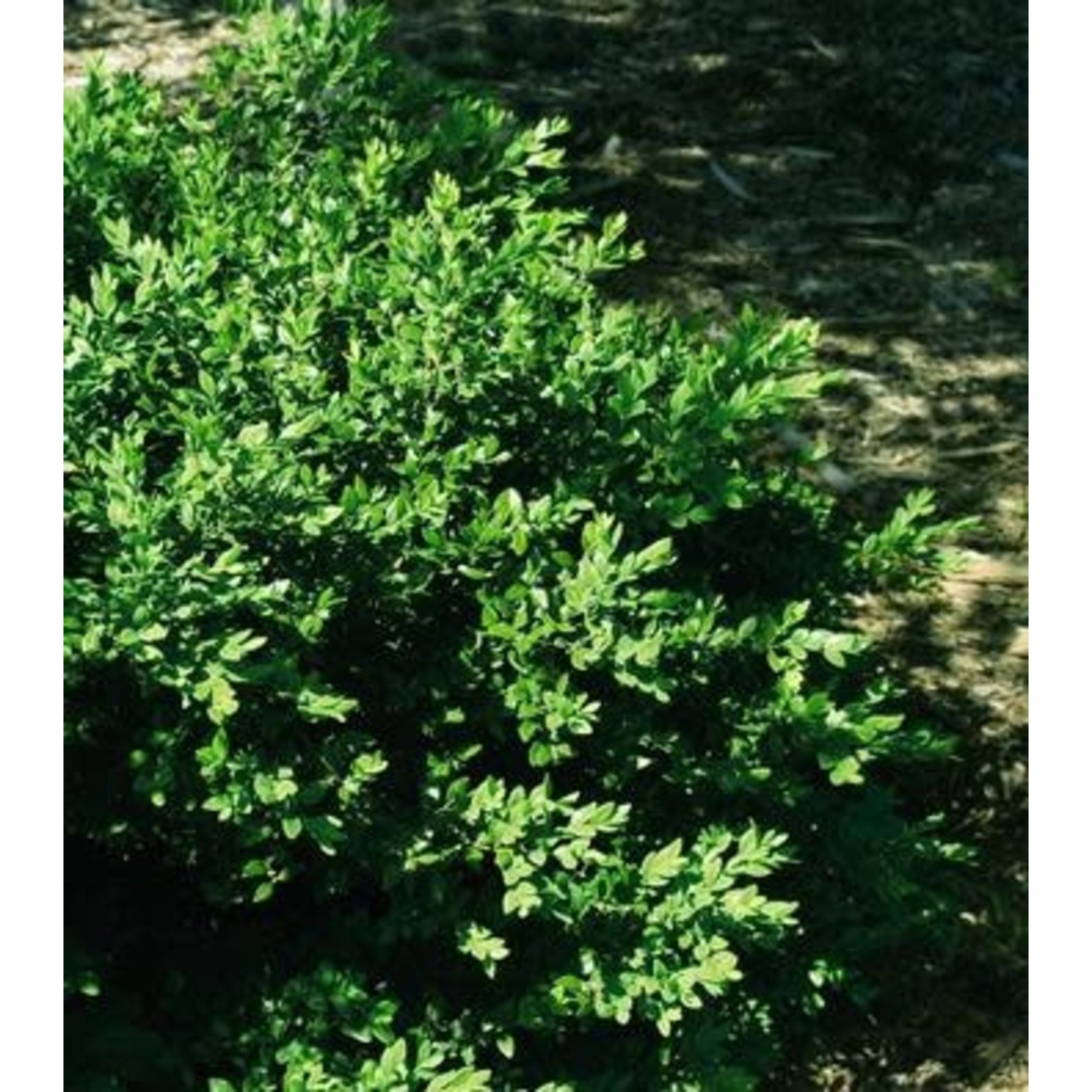 Boxwood 'Green Velvet' 2 gal