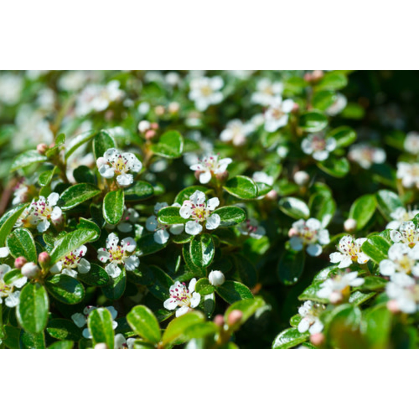 Cotoneaster 'Bearberry' - 2 gal