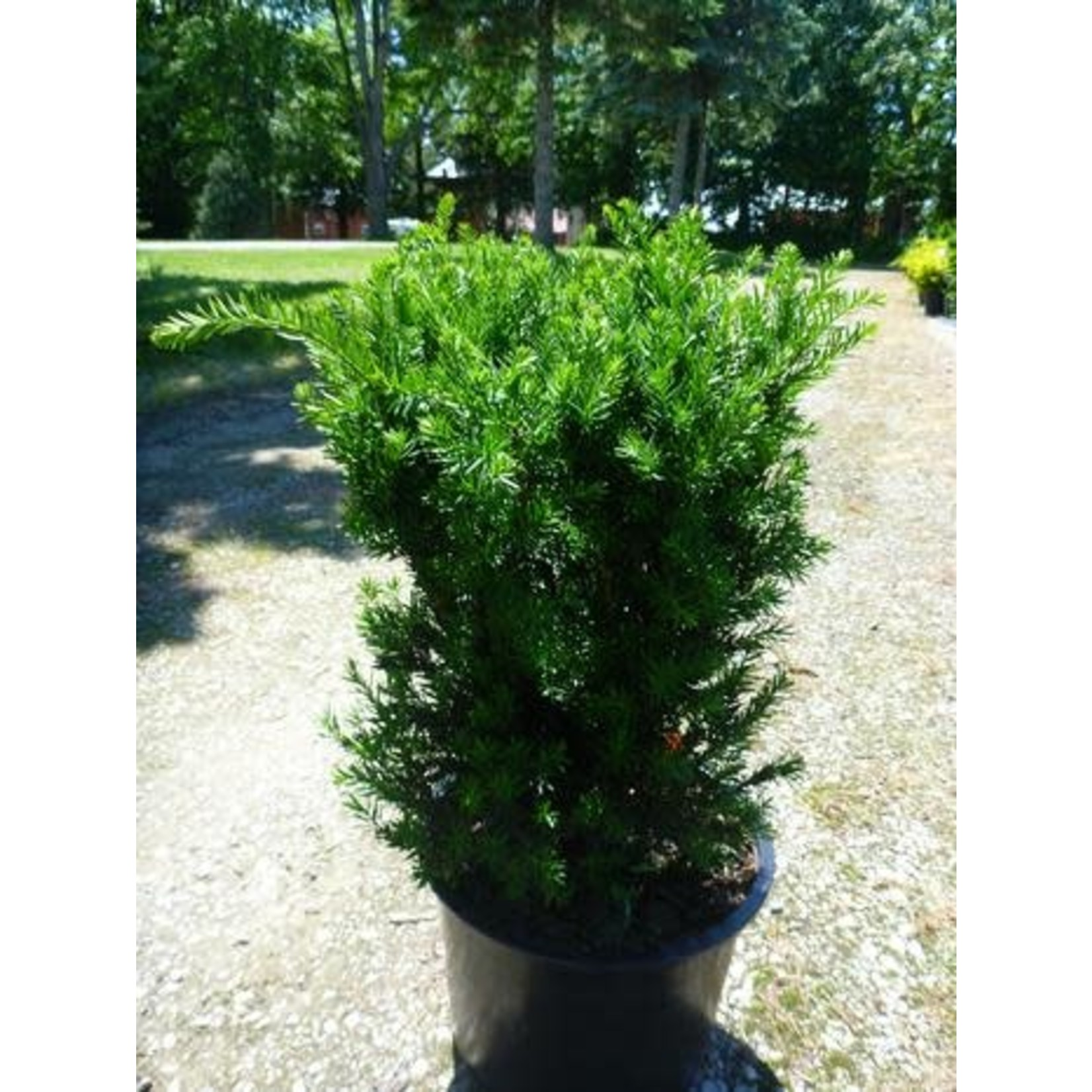 Yew 'Hill's' - 5 gal