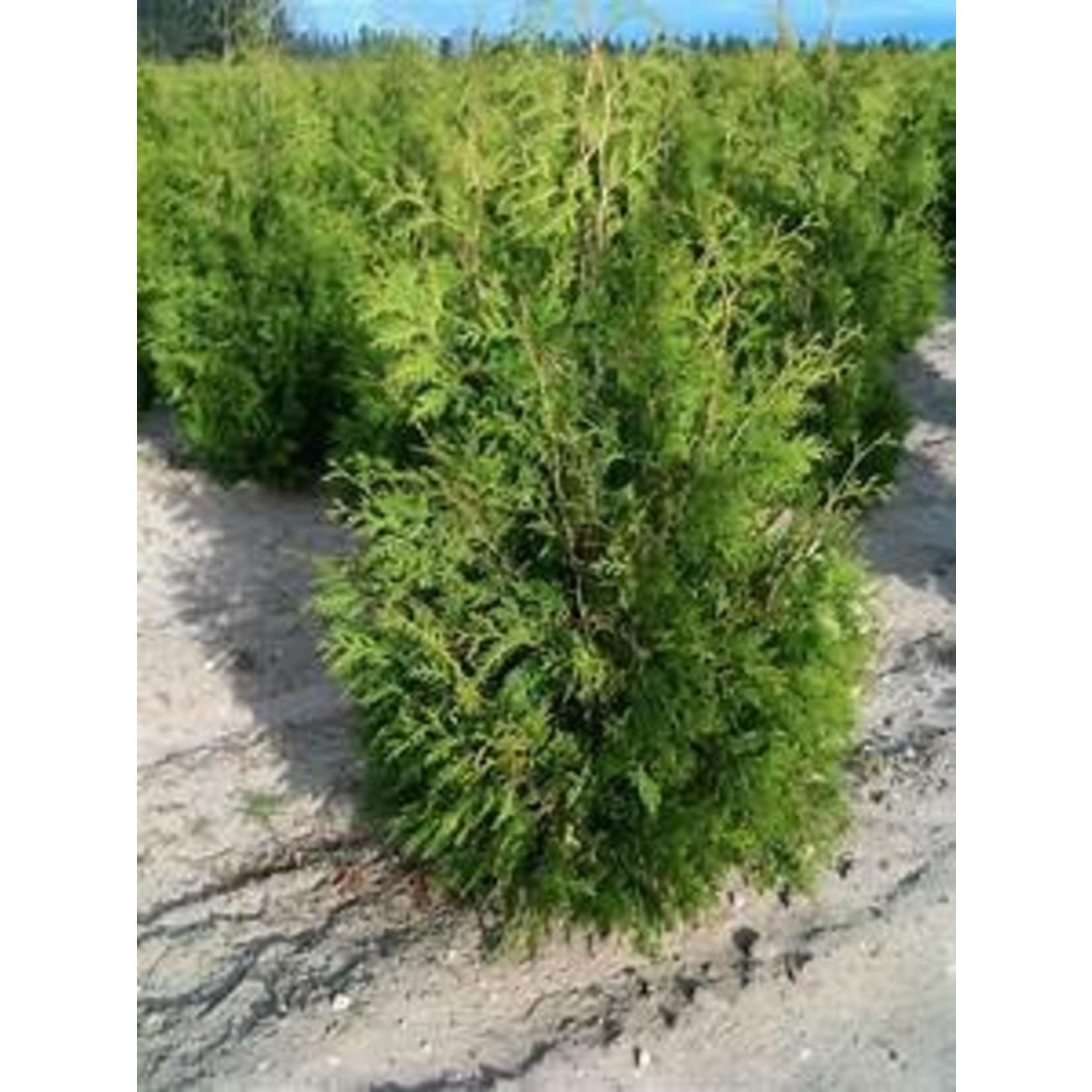 Black Cedar - 7 gal (2 to 3 ft.)