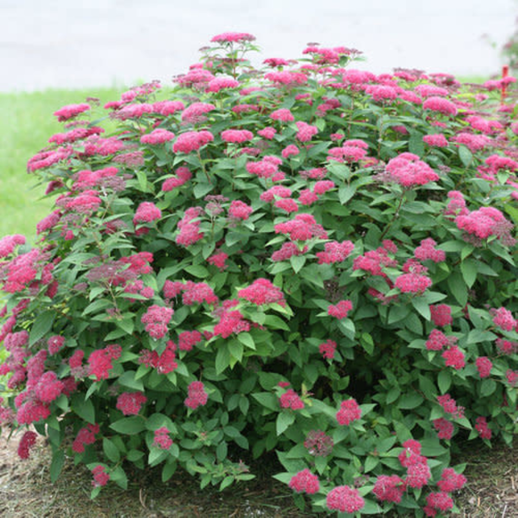 Spirea 'Double Play Red' - 2 gal