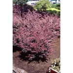 Barberry 'Rose Glow' - 2 gal