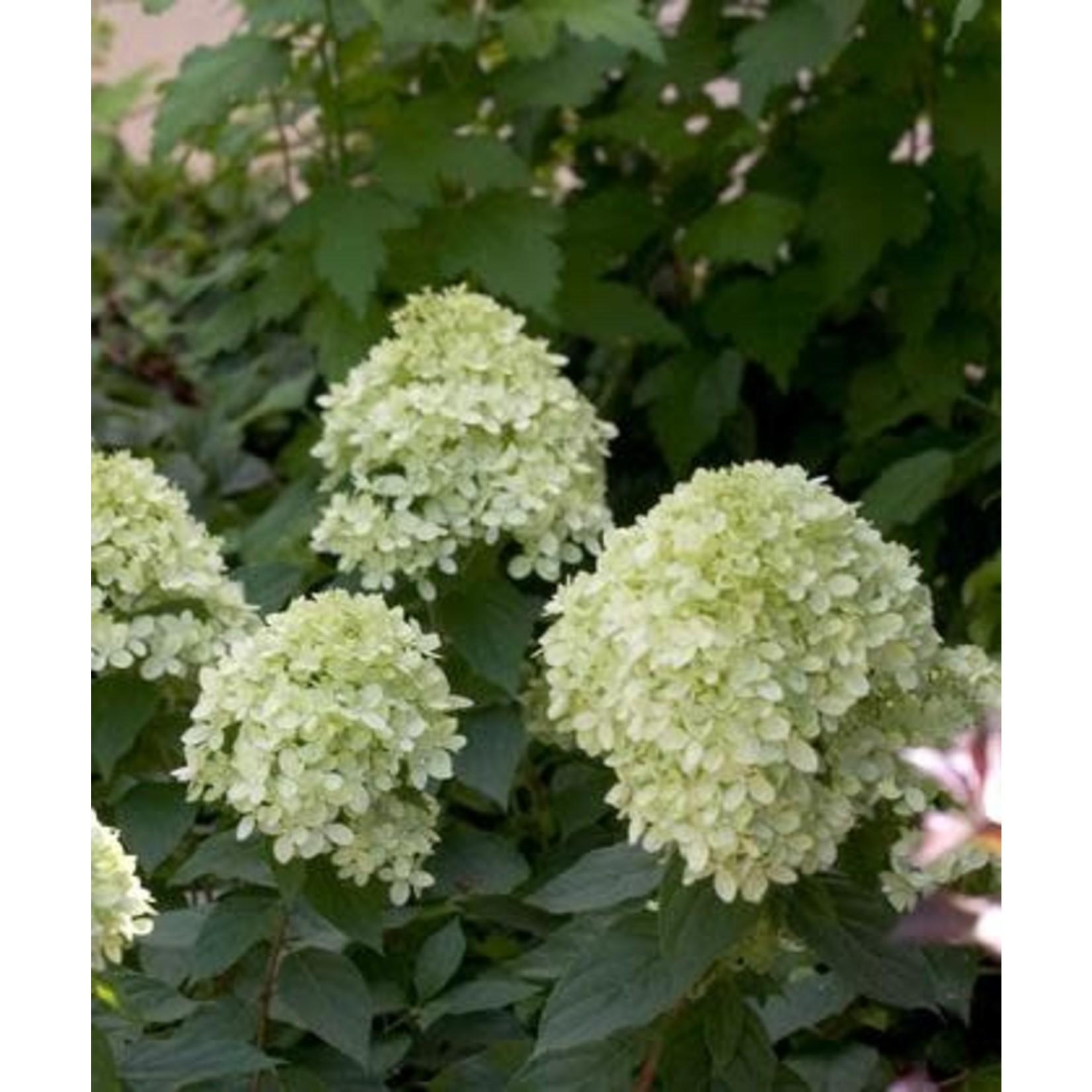 Hydrangea 'Little Lime' - 2 gal