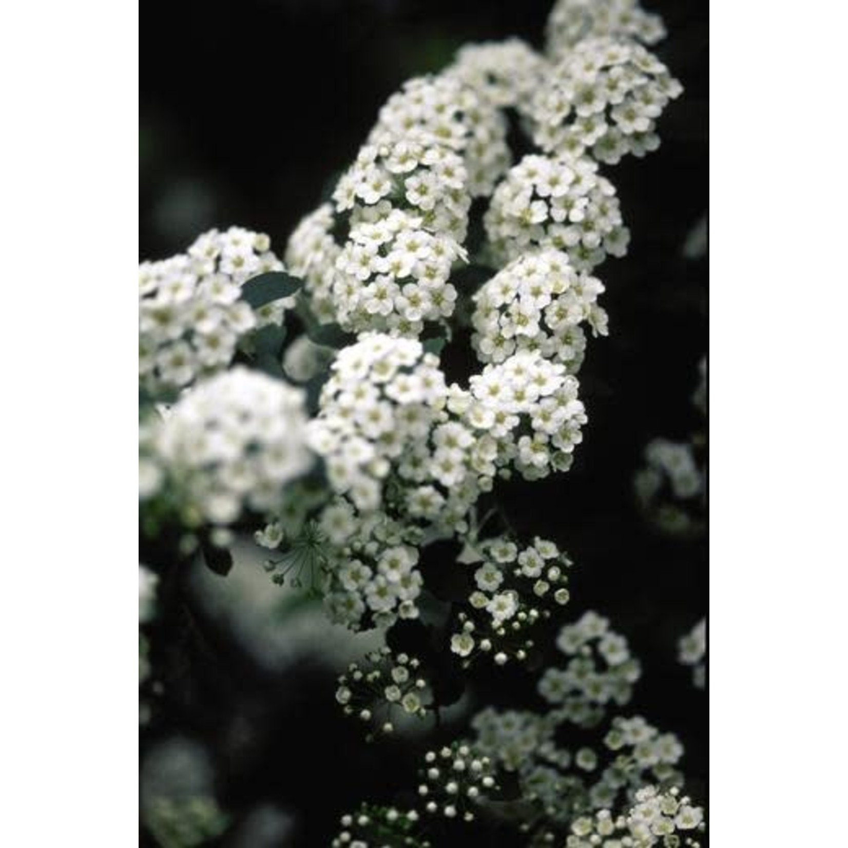 Spirea 'Bridal Wreath' - 3 gal