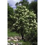 Lilac 'Ivory Silk'