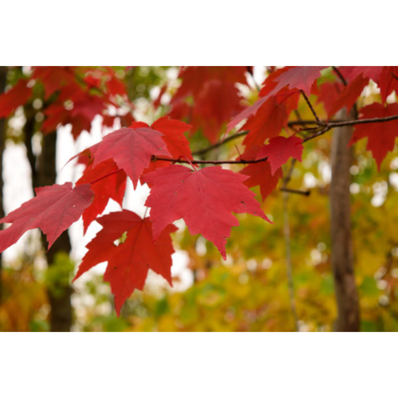 Maple (Native Red)