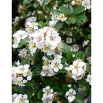 Cotoneaster 'coral beauty' - 2 gal