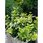 Euonymus 'canadale gold' - 3 gal