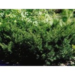 Yew 'new selection dense' - 3 gal