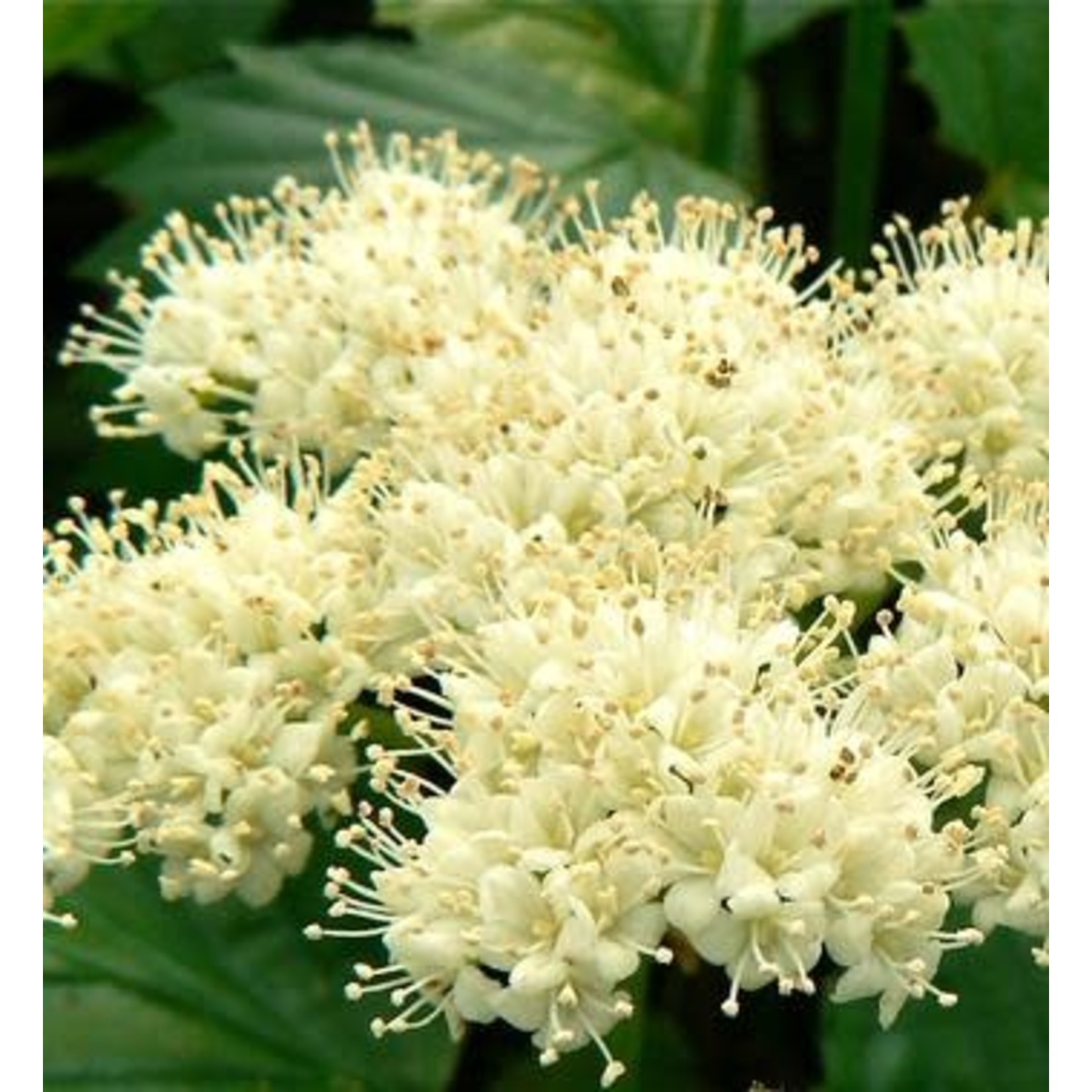Arrowwood 'viburnum dentatum' - 2 gal