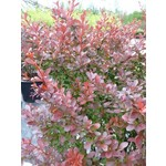 Barberry 'cherry bomb' - 2 gal