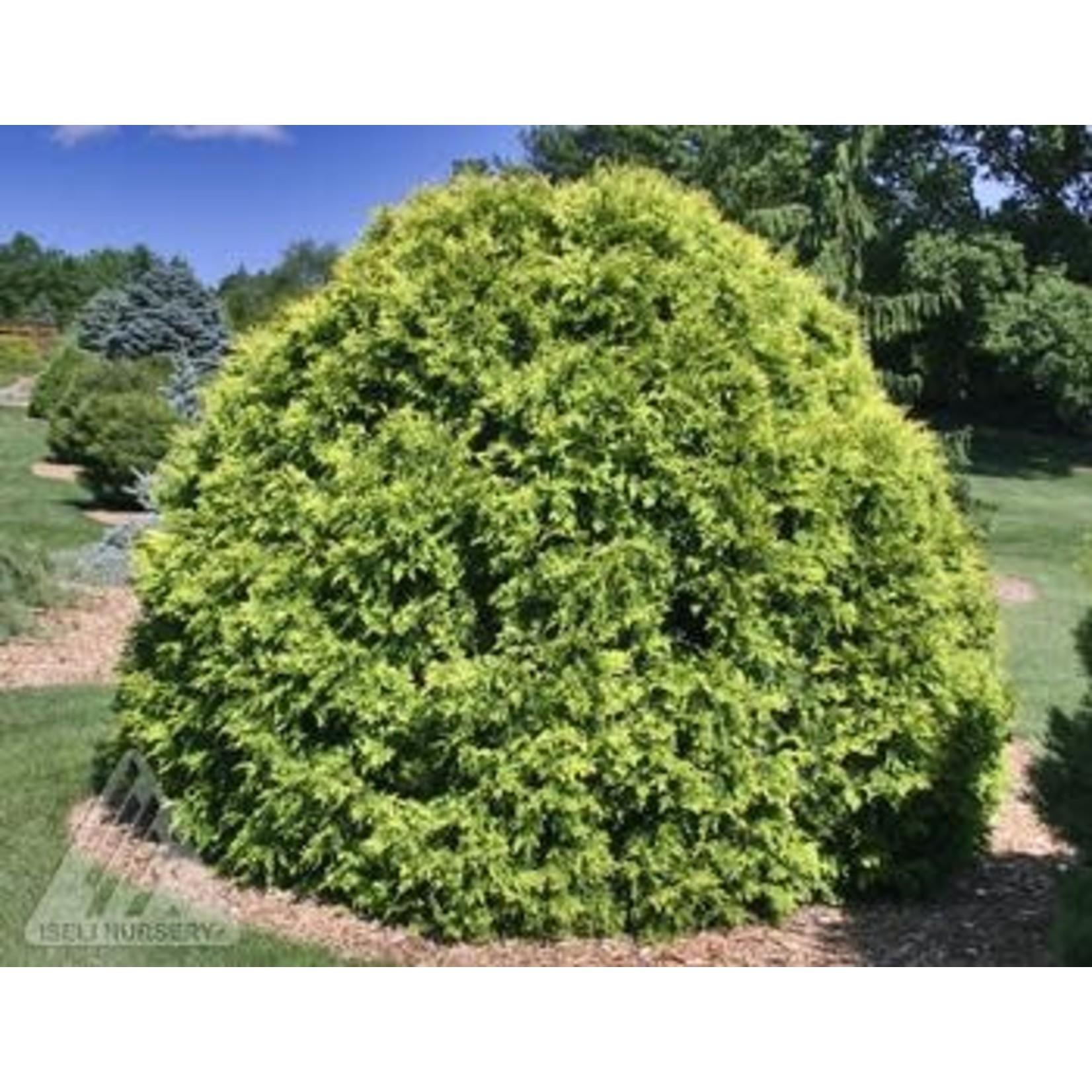 Cedar 'little giant globe' - 1 gal